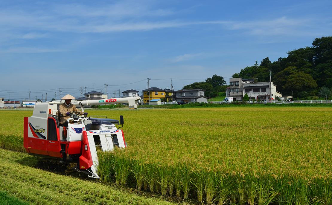 やまのしずく田植えから130日目稲刈りの様子